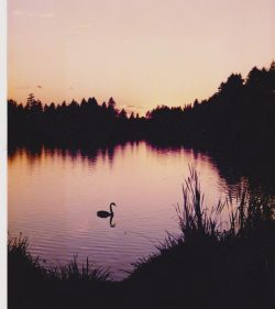 cropped-stanley-park-swan-at-sunset-0012.jpg