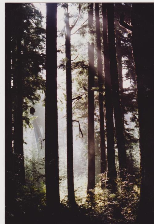 Trees Port Alice 001